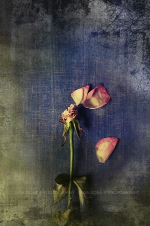 - Dead Rose -