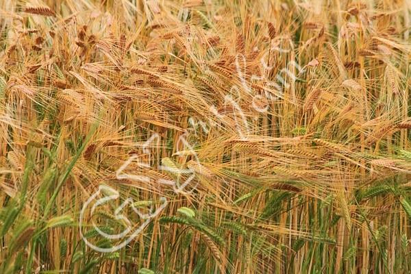 Wheat Up Close