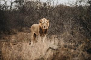 Safari 16 - Lion