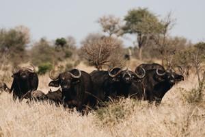 Safari 15 - Buffalo