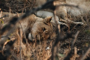 Safari 12 - Lion