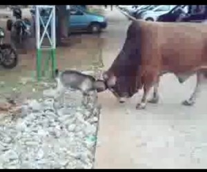 A fight between a bull and a goat