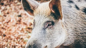 Pig Stock Photo Collection [Free Download]