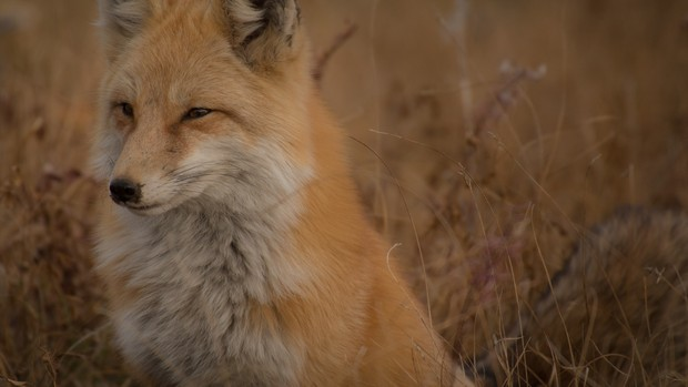 Fox Stock Photo Collection [Free Download]