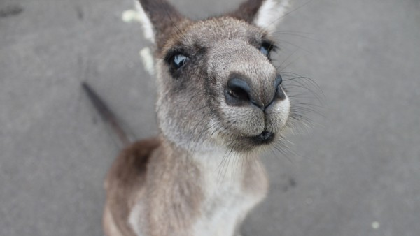 Kangaroo Stock Photo Collection [Free Download]