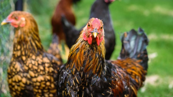 Chicken Stock Photos Collection [Free Download]