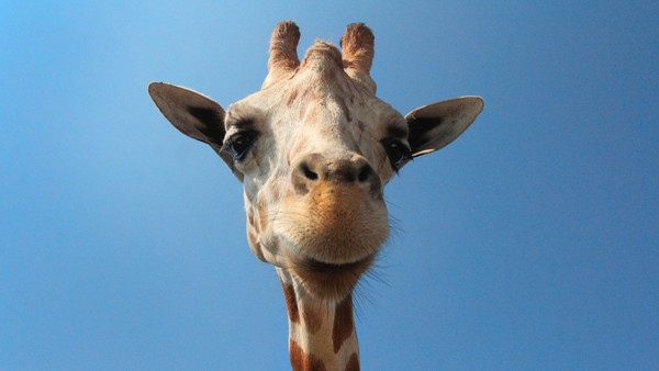 Giraffe Stock Photo Collection [Free Download]