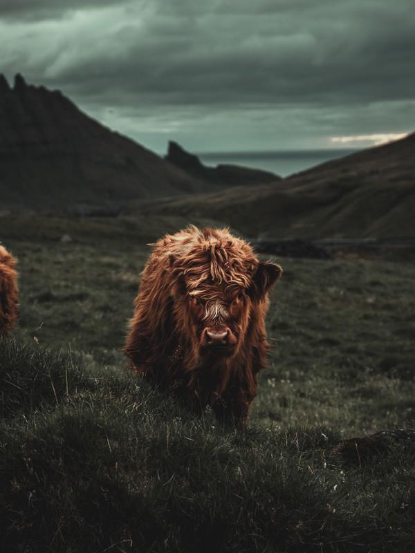 Young scottish highland cattle