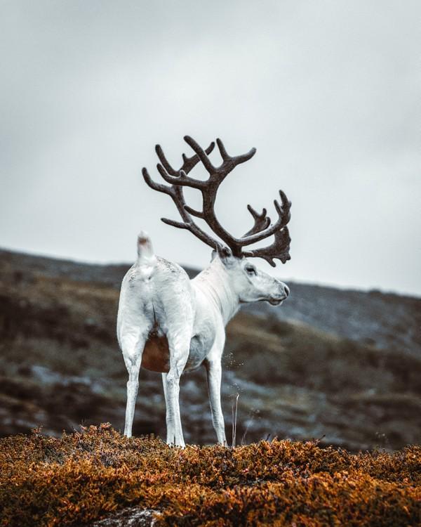 Kings of Norway 2! White reindeer