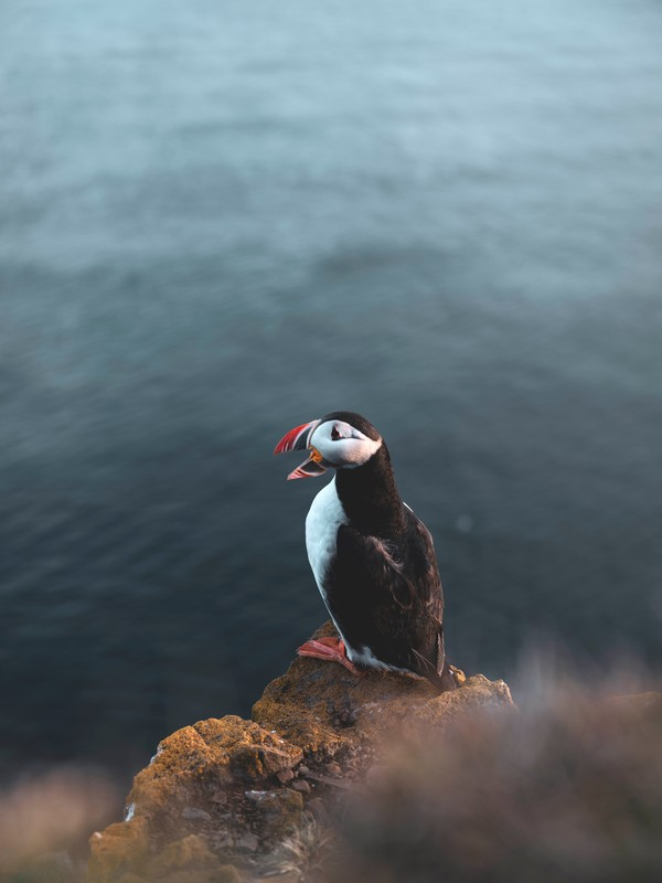 Puffin 2, high quality picture