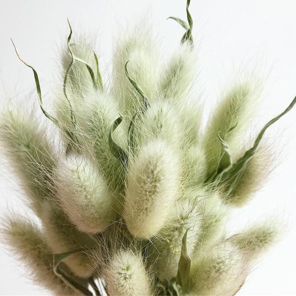 Bouquet de LANGURUS préservés | MENTHE