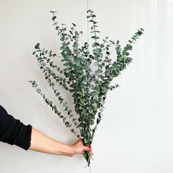 Bouquet d'eucalyptus '' cinérea '' préservé