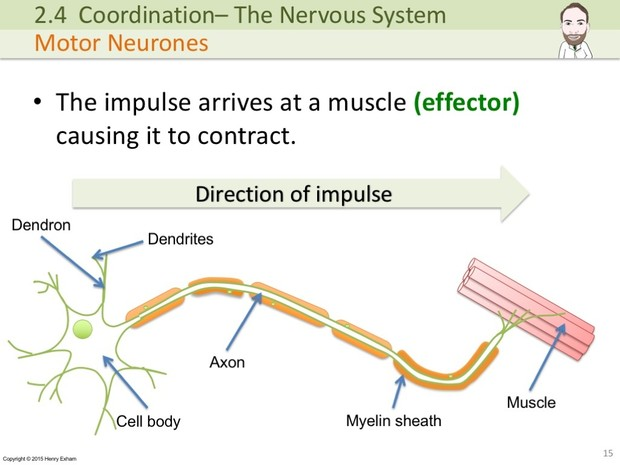 IGCSE Biology - The Nervous System Presentation