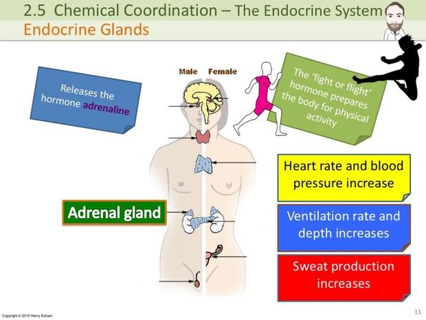 IGCSE Biology - The Endocrine System Presentation
