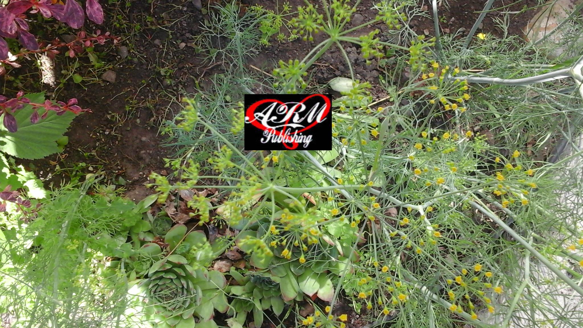 Garden Dill