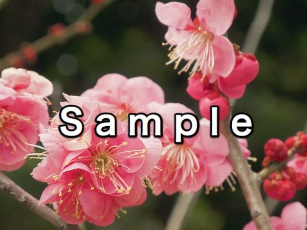Spring Blossom (早春の梅)