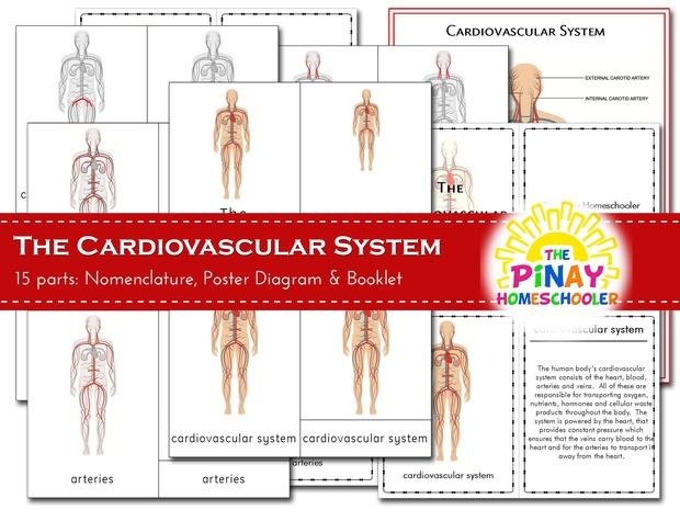 The Cardiovascular System - Pinay Homeschooler PDF Shop