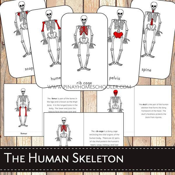 The Human Skeleton