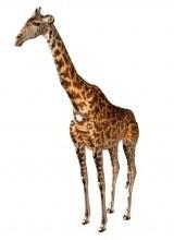 Giraffe MESH