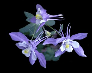 Flight of the Blue Columbine