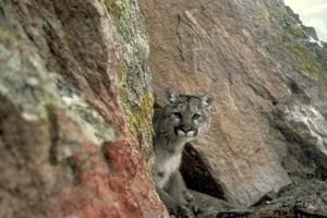 Cougar's Den