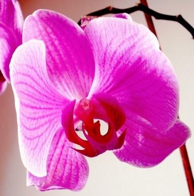 Orchidee pink JPG Foto