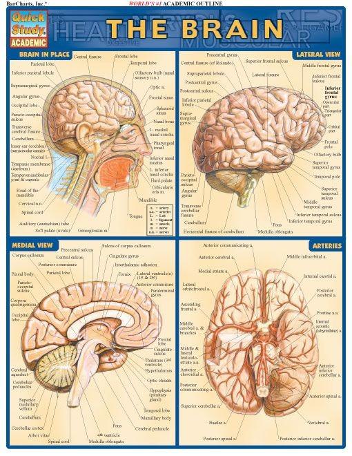 Brain - Examville