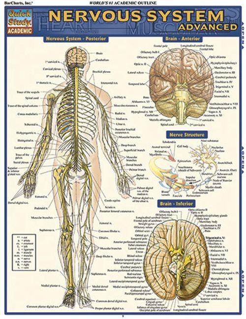 Nervous System Advanced