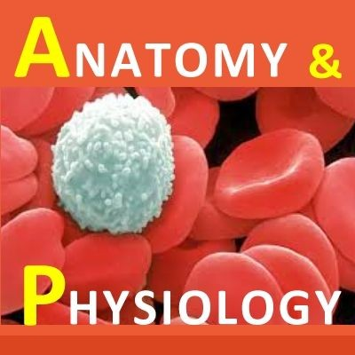 Examville.com - Physiology - Arterial Blood Pressure