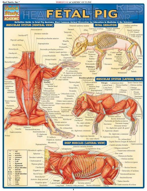 Fetal Pig Dissection Diagram