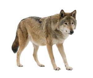 WOLF AR MARKER