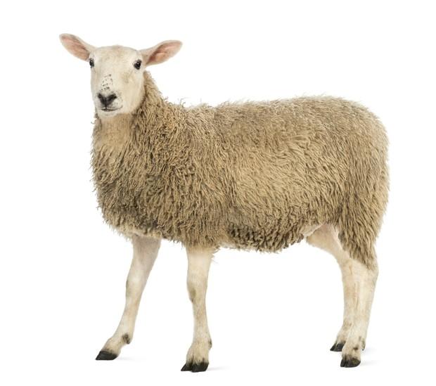 SHEEP AR MARKER